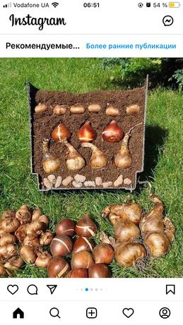 Луковичные тюльпаны нарцысы 1 грн