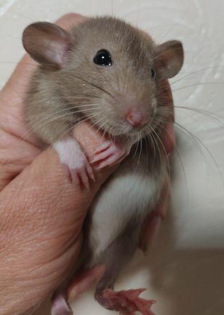Декоративные Крысята Дамбо