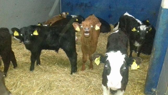 Sprzedam cielęta byczki, jałówki, zdrowe, transport