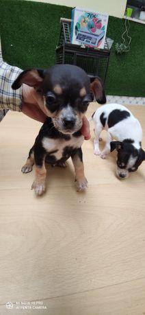 Chihuahua criado em ambiente familiar