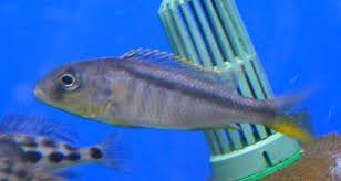Pyszczak Buccochromis Rhoadeesii -4cm
