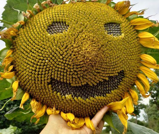 Słonecznik Jadalny GIGANT