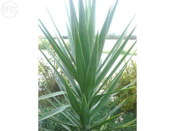 Planta iuca para jardim (Yucca)