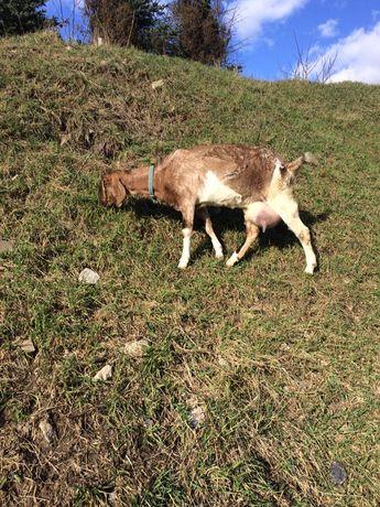 Молоко кози англонубійськоі породи по Тернополю можна з доставкою