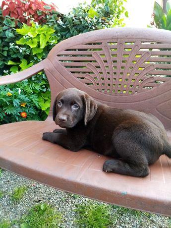 Labradory pieski czekoladowe