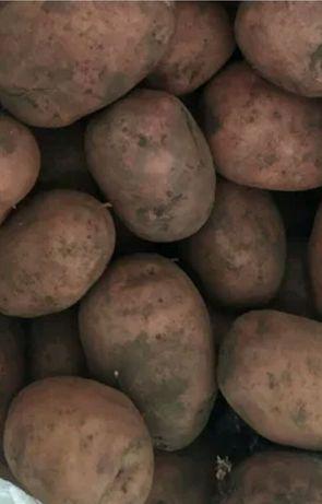 "Картопля крупна ""Белла роса"""