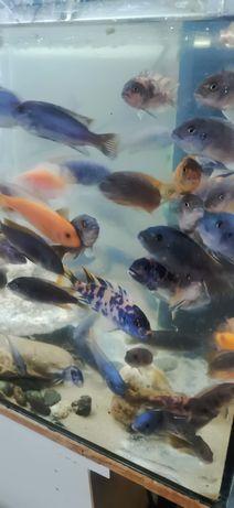 Peixes várias raças principalmente ciclidios africanos