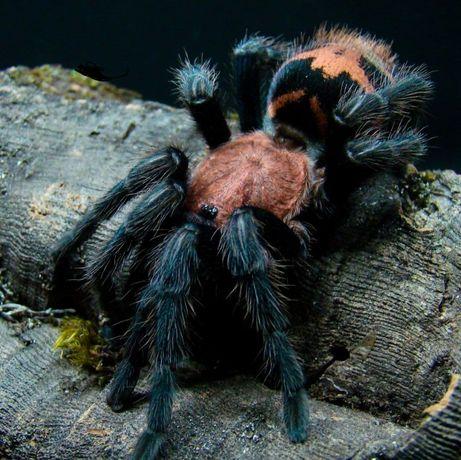 Cyclosternum fasciatum самочка паука птицееда для новичков