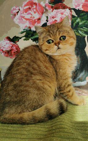 Котик с огромными изумрудными глазками, золотая шиншилла