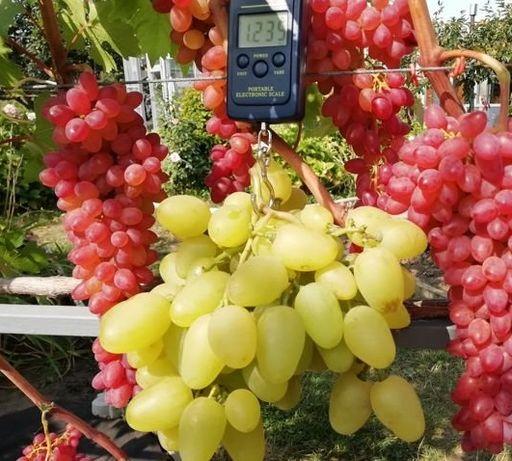 Свои саженцы винограда. Много новинок
