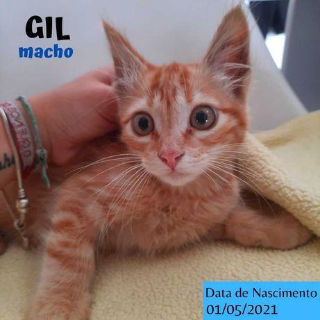 Gatinho 3 meses para adoção (Gil)