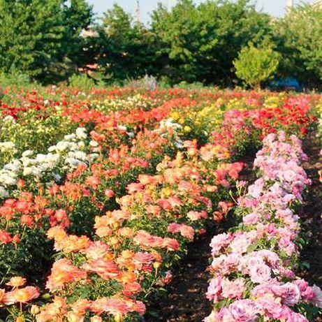 Саженцы роз напрямую из питомника ОПТ