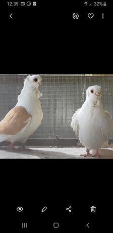 Gołębie Para nywków