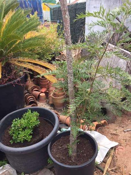 Grevilea Robusta árvore