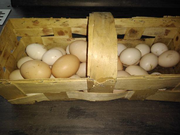 Jajka od swoich kurek