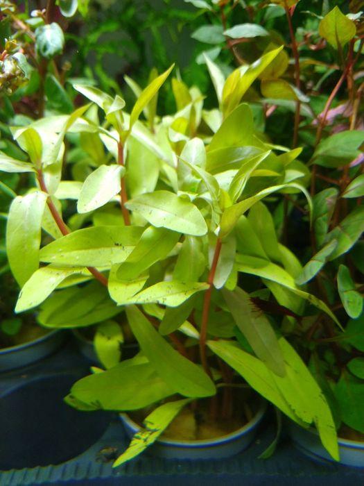 Rośliny akwariowe/roślina do akwarium/Nesea Senegalensis Golden Toruń - image 1