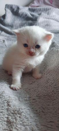 Kotki persko-brytyjskie
