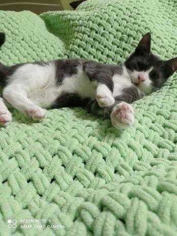 Котенок девочка. Белая с серым