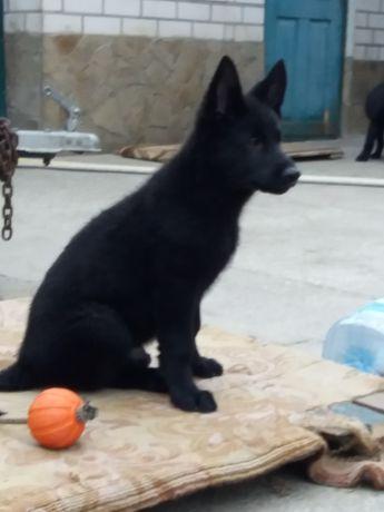 Продаются щенки черной немецкой овчарки.