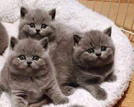 Шикарные котята (Scottish Fold)