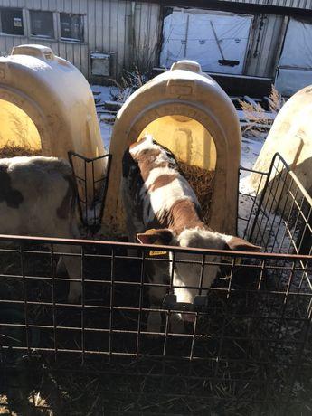 Byczki Cielęta Cielaki Mięsne