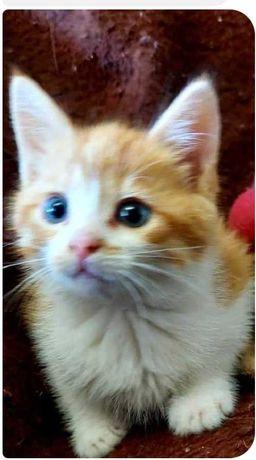 Рыжий котенок, мальчик, 1 месяц
