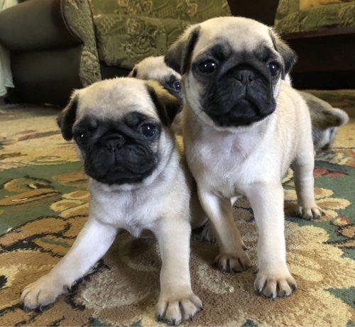 Щенки мопсы /собаки маленькие породы мопсы щенки