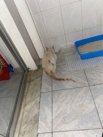 gato branco amarelado para adocao