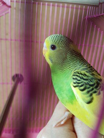 не вольерный малыш для разговора волнистый попугай