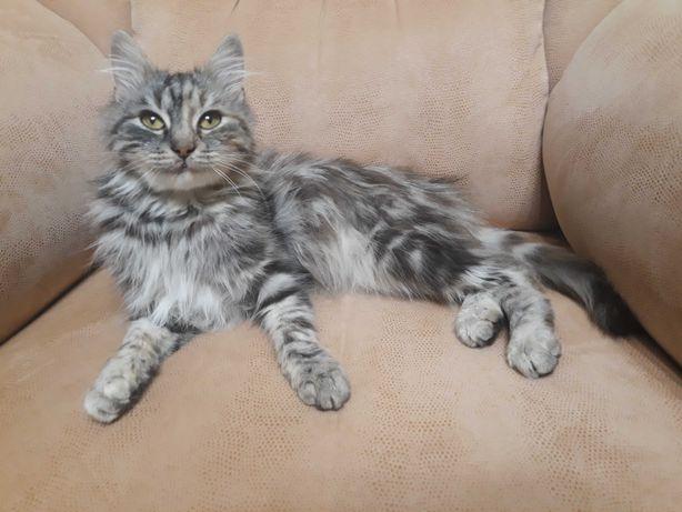 Очень спокойная кошка/котенок/5мес/девочка/пушистая/меланжевая/пепельн