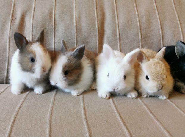 KIT Coelhos anões teddy, holandês mini e angorá lindíssimos