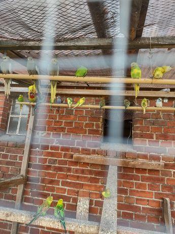 Papugi i zeberki