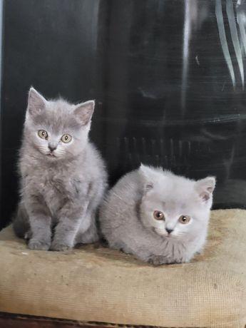 Kocięta brytyjskie kocur i koteczka