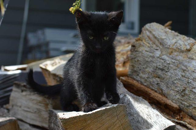 Котенок девочка, черная с пятнышками на пузике, 2 месяца, очень милая
