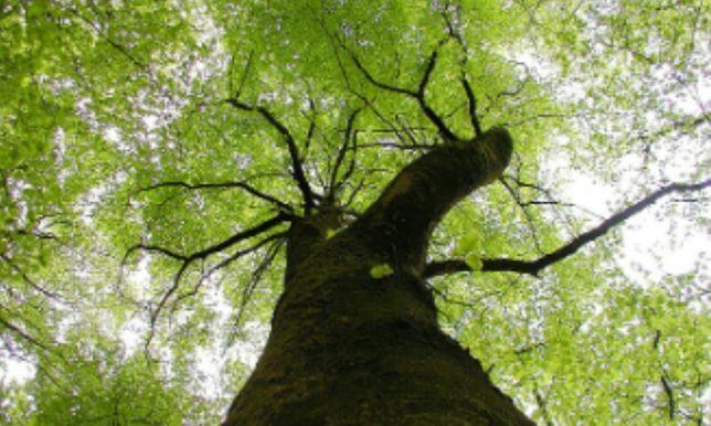 Дерево для заготовки дров
