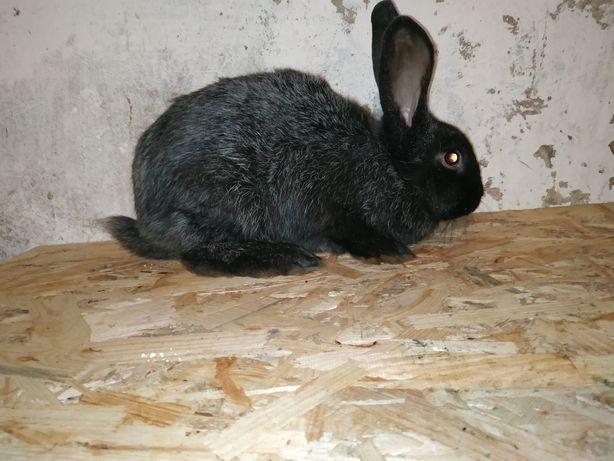 Продам кролів породи сріблястих.