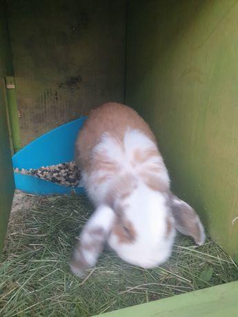 Baranek królik młody