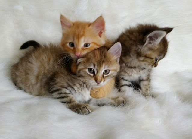 Чудесные котята 1.5 мес.  Мальчики и девочки.