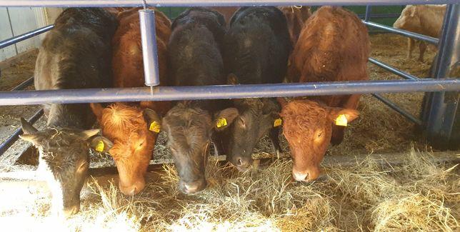 jałówki jałówka odsadki mięsne Limousin Angus