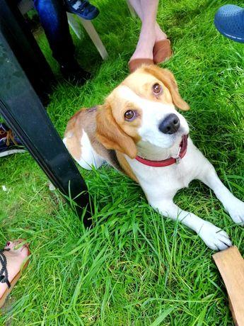 Suka beagle szuka reproduktora