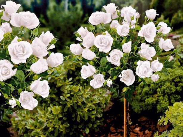 Róża, Róże pienna Ecri, Biskupia, Biała mini - rózne kolory
