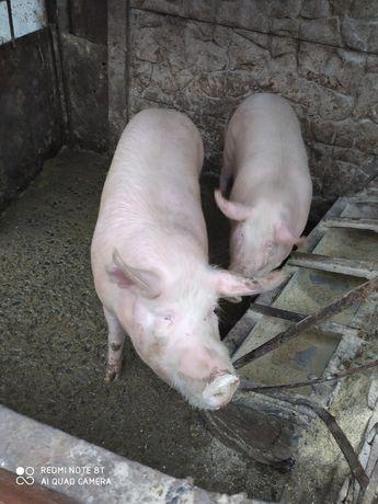 Продам свинью живим весом