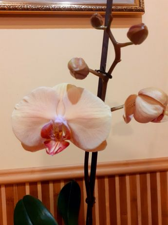 Орхідея Леді Мармелад, фаленопсис, орхидея, орхідеї