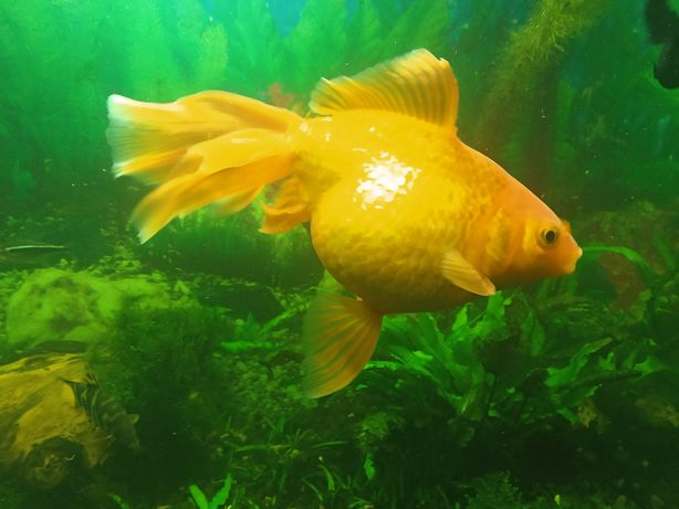 Золотые рыбки (вуалехвосты)
