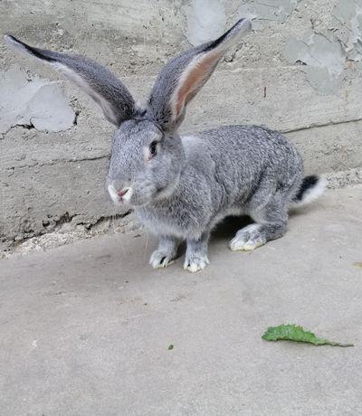 Кролики (самички)