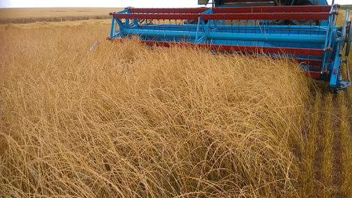 Nasiona trawy życicy wielokwiatowej