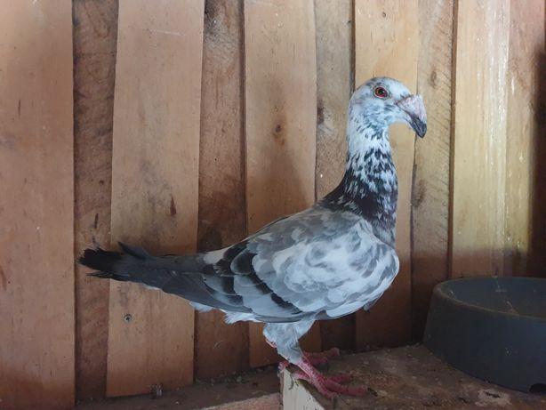 Gołębie rzeszowskie Pokaz dla Grzecha