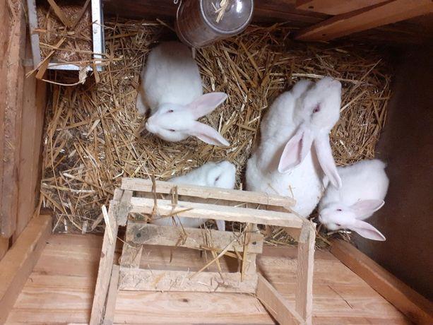 Sprzedam króliki Barany francuskie, mieszańce termondzkie Białe