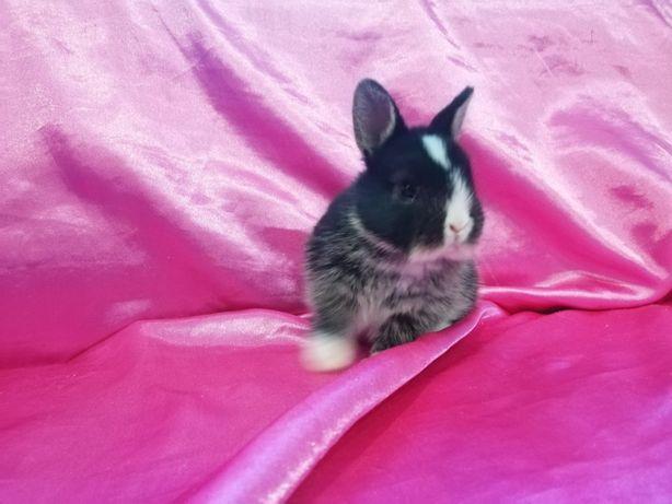 Карлик. Цветной,, Кольоровий карлик 'кролики.