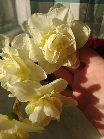 Нарциссы. Саженцы клубники ранней Майка